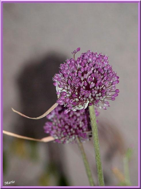 Fleurs d'ail sauvage en campagne à Saint Rémy de Provence, Alpilles (13)