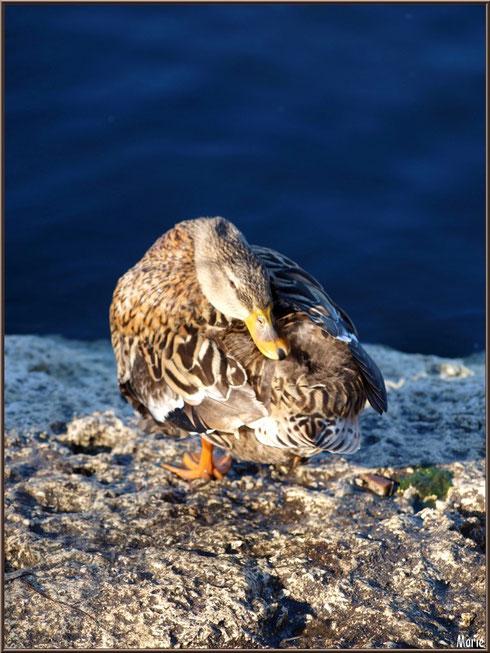 Madame canard la tête dans la queue au Parc de la Chêneraie à Gujan-Mestras (Bassin d'Arcachon)