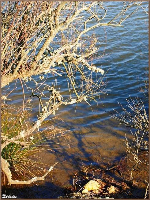 Végétation hivernale en bordure d'un réservoir, Sentier du Littoral, secteur Domaine de Certes et Graveyron, Bassin d'Arcachon (33)