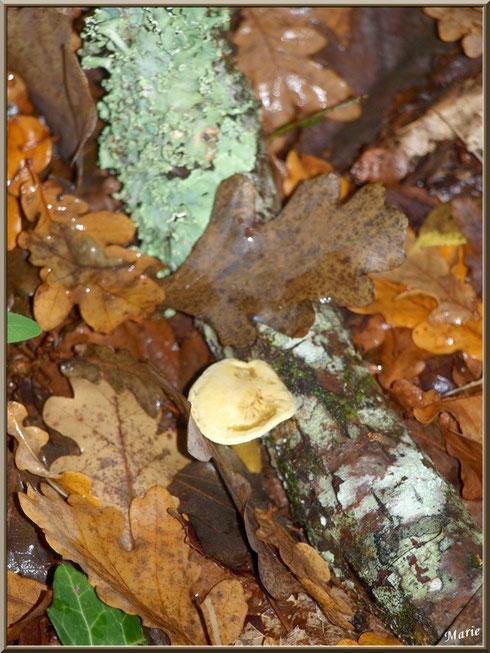Hypholome et lichen Lobaria Sublaevis en forêt sur le Bassin d'Arcachon