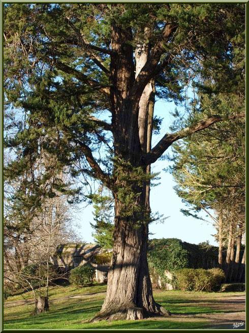Vieux cèdre avec en toile de fond le blockhaus au Parc de la Chêneraie à Gujan-Mestras (Bassin d'Arcachon)