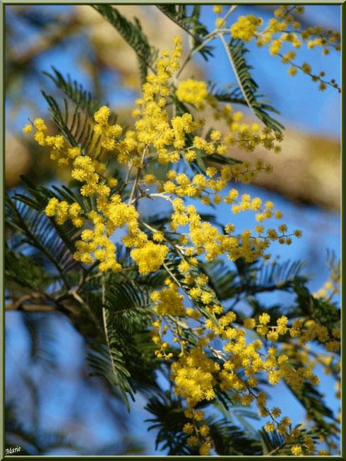 Mimosa en fleurs au Parc de la Chêneraie à Gujan-Mestras (Bassin d'Arcachon)