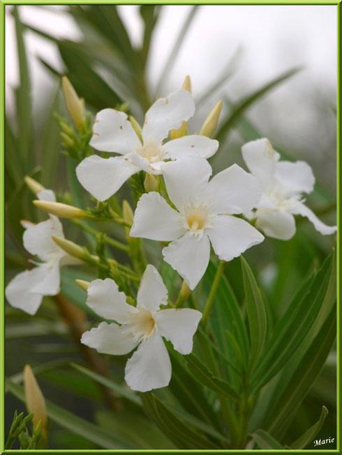 Laurier blanc à Saint Rémy de Provence, Alpilles (13)