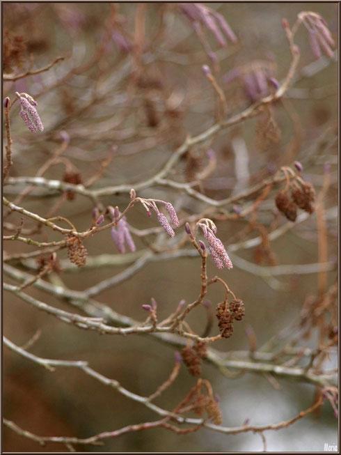 Aulne hivernal avec ses petites pignes et ses grappes au Parc de la Chêneraie à Gujan-Mestras (Bassin d'Arcachon)