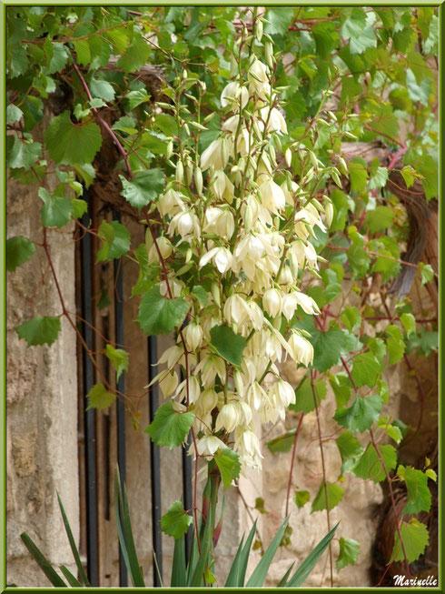 Fleur de Yucca au détour d'une ruelle dans le village d'Oppède-le-Vieux, Lubéron (84)