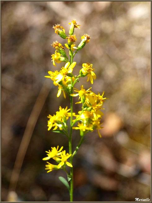 Solidage ou Verge d'or ou Gerbe d'or, flore sur le Bassin d'Arcachon (33)
