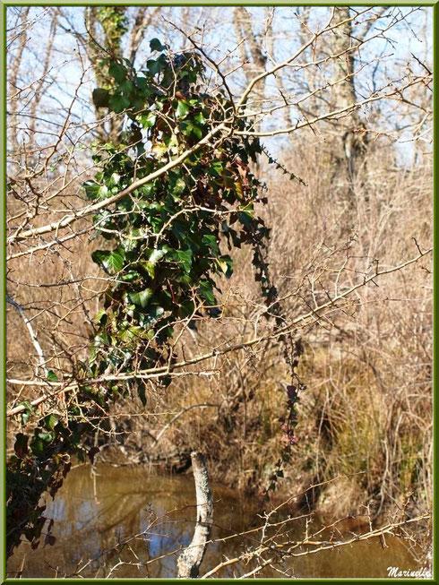 Lierre en cascade en bordure du ruisseau, Sentier du Littoral secteur Pont Neuf, Le Teich, Bassin d'Arcachon (33)