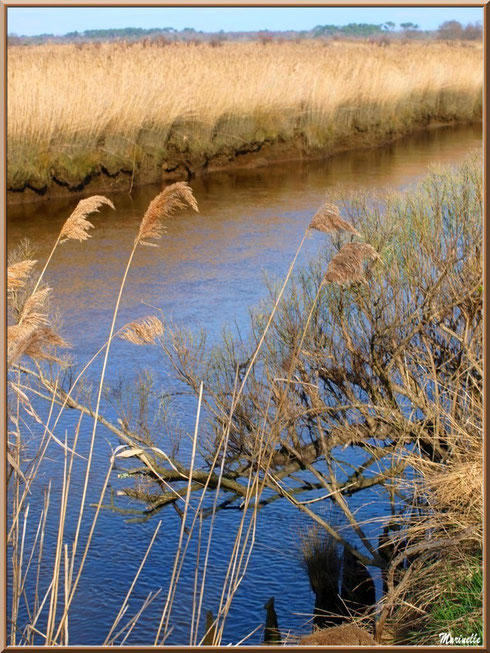 Au milieu des roseaux et tamaris, coule La Leyre, Sentier du Littoral, secteur Port du Teich en longeant La Leyre, Le Teich, Bassin d'Arcachon (33)