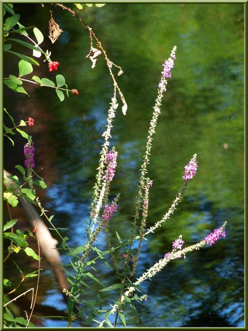 Salicaires Communes ou Herbes aux Coliques et arbrisseau à baies rouges en bordure du Canal des Landes au Parc de la Chêneraie à Gujan-Mestras (Bassin d'Arcachon)