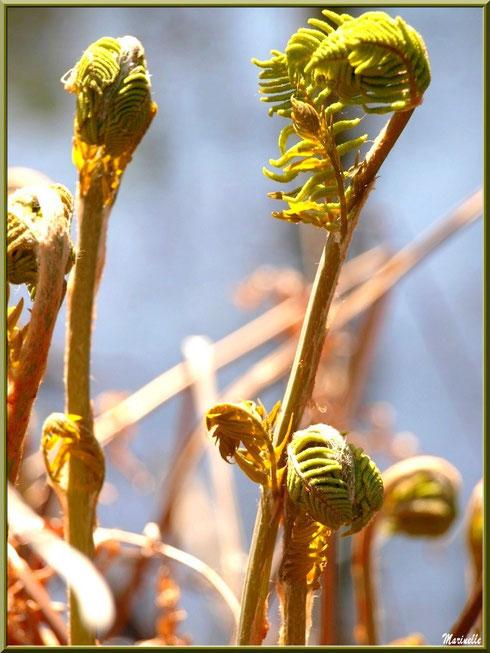 Fougères en pousse au bord du Canal des Landes au Parc de la Chêneraie à Gujan-Mestras (Bassin d'Arcachon)