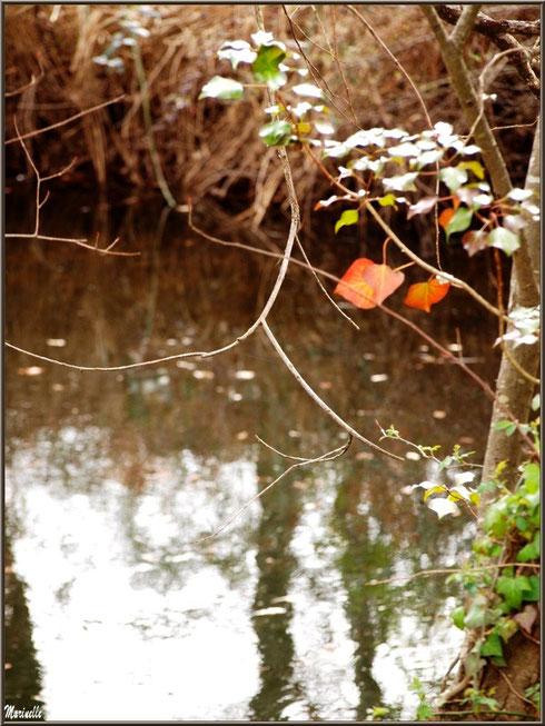 Lierre printanier sur chêne en bordure du Canal des Landes au Parc de la Chêneraie à Gujan-Mestras (Bassin d'Arcachon)