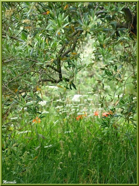 Olivier, fleurs blanches et coquelicots en bordure de la route montant vers le village d'Oppède-le-Vieux, Lubéron (84)