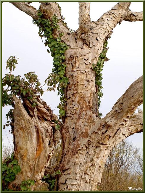 Vieux chêne mort en bordure du Sentier du Littoral, secteur Port du Teich en longeant La Leyre, Le Teich, Bassin d'Arcachon (33)