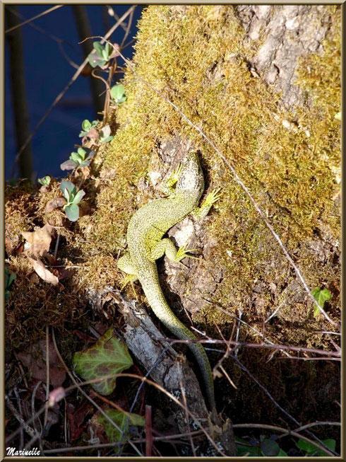 Gros lézard vert en camouflage au soleil sur le tronc d'un chêne moussu, Sentier du Littoral secteur Pont Neuf, Le Teich, Bassin d'Arcachon (33)