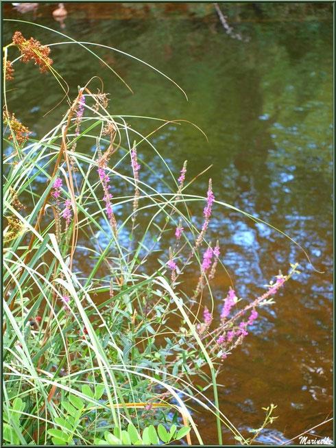 Salicaires Communes, herbacées et reflets sur le Canal des Landes au Parc de la Chêneraie à Gujan-Mestras (Bassin d'Arcachon)