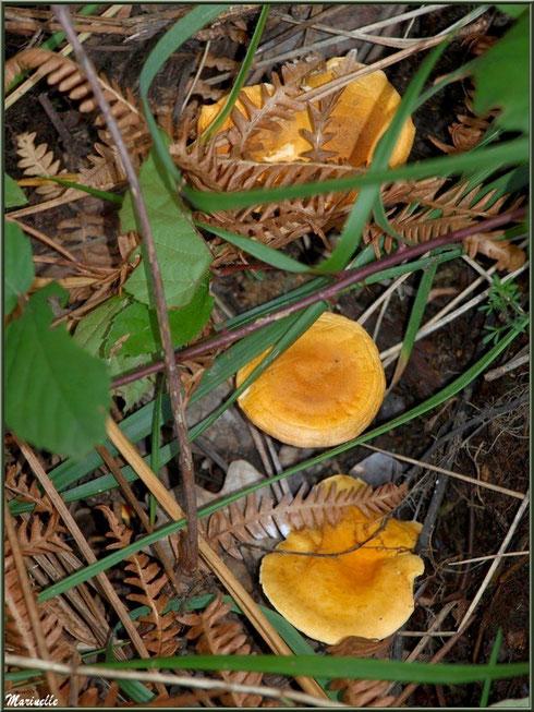 Clitocybes Orangés alignés et bien cachés en forêt sur le Bassin d'Arcachon
