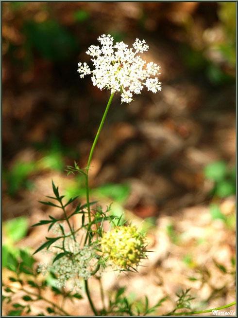 Carotte sauvage en fleurs au Parc de la Chêneraie à Gujan-Mestras (Bassin d'Arcachon)