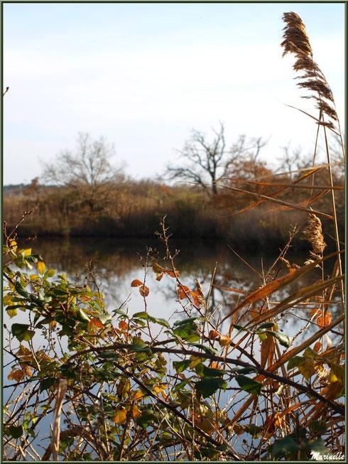 Roncier et roseaux en bordure d'un réservoir, Sentier du Littoral, secteur Port du Teich en longeant La Leyre, Le Teich, Bassin d'Arcachon (33)