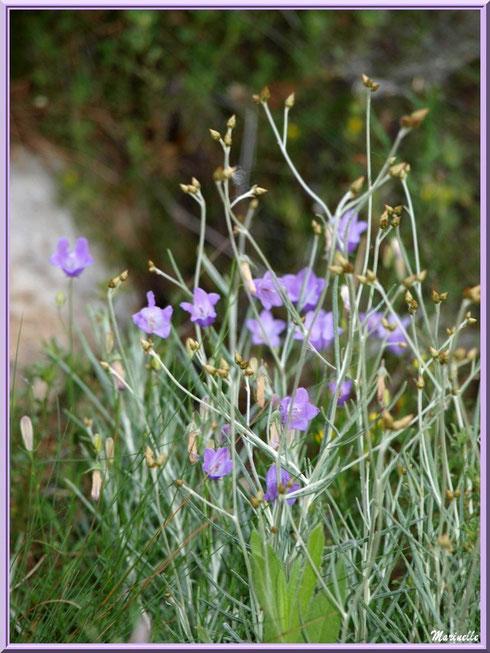 Campanules en fleurs et herbacées en bordure du chemin menant à la chapelle Notre Dame de Beauregard, village d'Orgon, entre Alpilles et Lubéron (13)