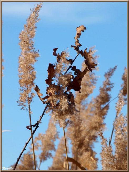 Roseaux et feuilles de chêne hivernales en bordure des prés salés, Sentier du Littoral secteur Pont Neuf, Le Teich, Bassin d'Arcachon (33)
