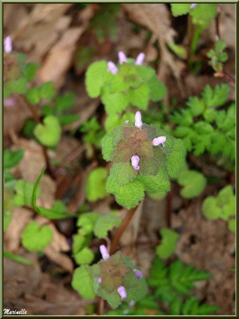 Lamier pourpre, flore sur le Bassin d'Arcachon (33)