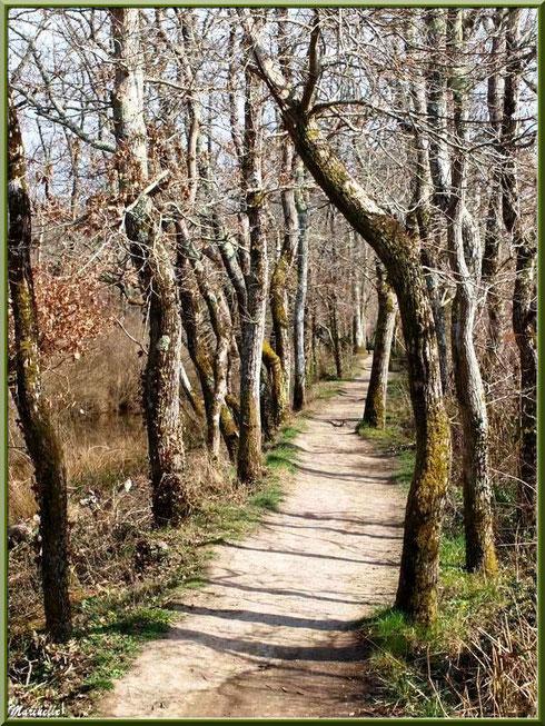 Le petit sentier forestier et hivernal entre les arbres, Sentier du Littoral secteur Pont Neuf, Le Teich, Bassin d'Arcachon (33)