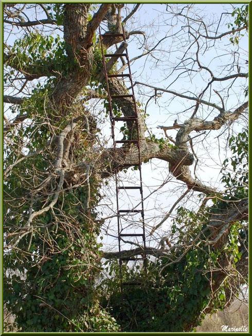 Une échelle dans les arbres (vestige d'une ancienne palombière très certainement), Sentier du Littoral secteur Pont Neuf, Le Teich, Bassin d'Arcachon (33)