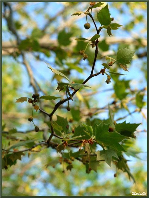 Boules de Platane en formation, flore sur le Bassin d'Arcachon (33)