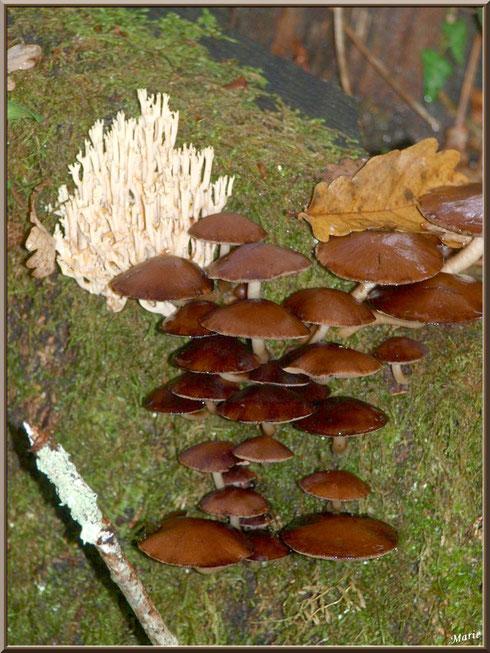 Ramaire Droite ou Clavaire Dressée et Collybies en forêt sur le Bassin d'Arcachon