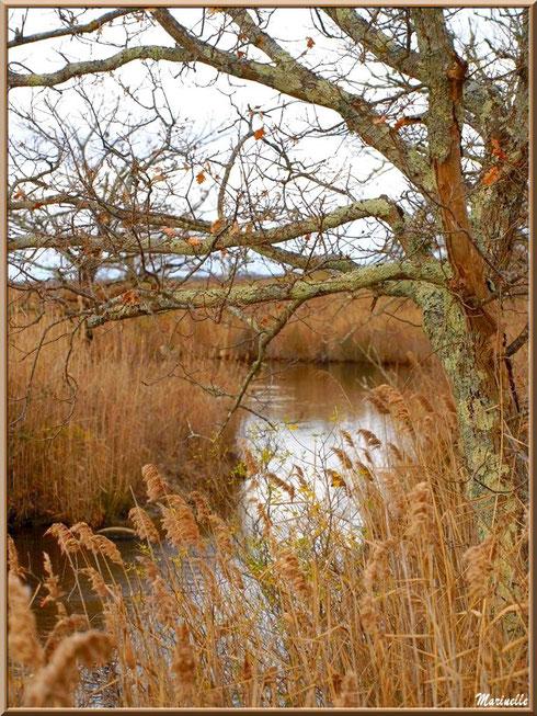 Roseaux et chêne en bordure de La Leyre sur le Sentier du Littoral, secteur Port du Teich en longeant La Leyre, Le Teich, Bassin d'Arcachon (33)