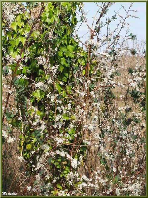 Chêne couvert de lierre et arbrisseau en fleurs printanières en bordure du sentier forestier, Sentier du Littoral secteur Pont Neuf, Le Teich, Bassin d'Arcachon (33)