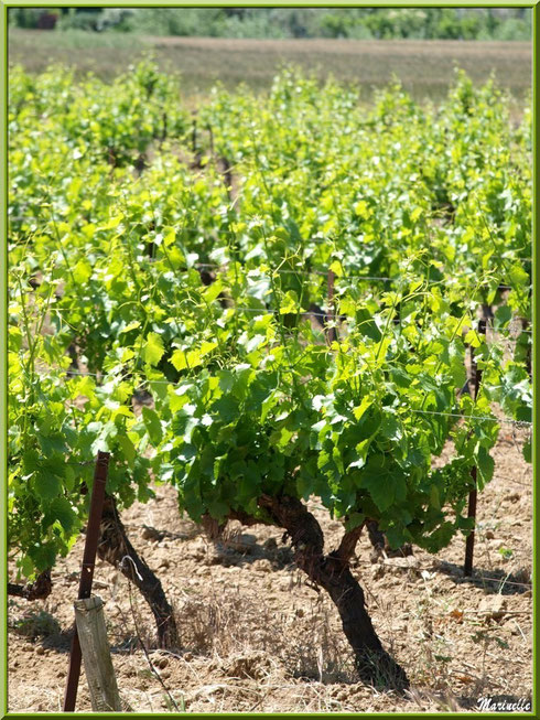 Vignoble dans le Lubéron (84), ici aux environs de Cucuron