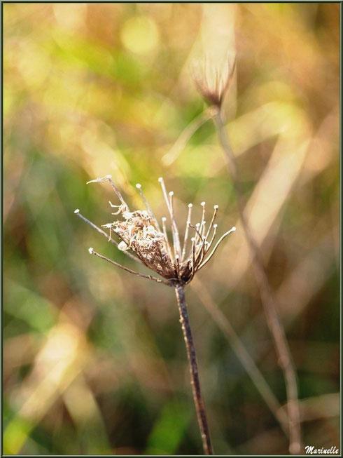 Herbacée hivernale des marais, Sentier du Littoral, secteur Domaine de Certes et Graveyron, Bassin d'Arcachon (33)
