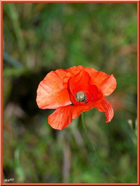 Coquelicot en campagne à Saint Rémy de Provence, Alpilles (13)