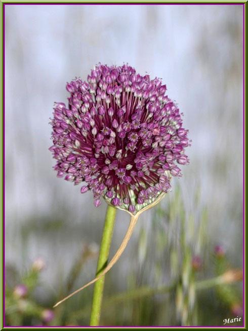 Fleur d'ail sauvage en campagne à Saint Rémy de Provence, Alpilles (13)