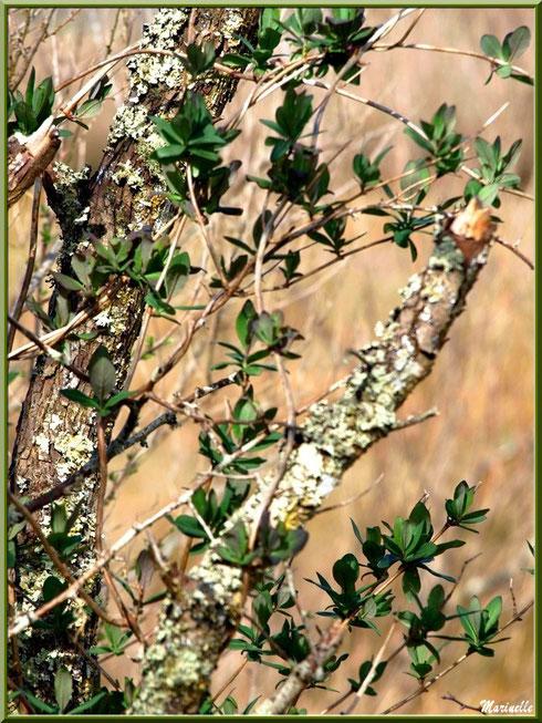 Pousses printanières de chèvrefeuille sur branches de chêne en bordure du sentier forestier, Sentier du Littoral secteur Pont Neuf, Le Teich, Bassin d'Arcachon (33)