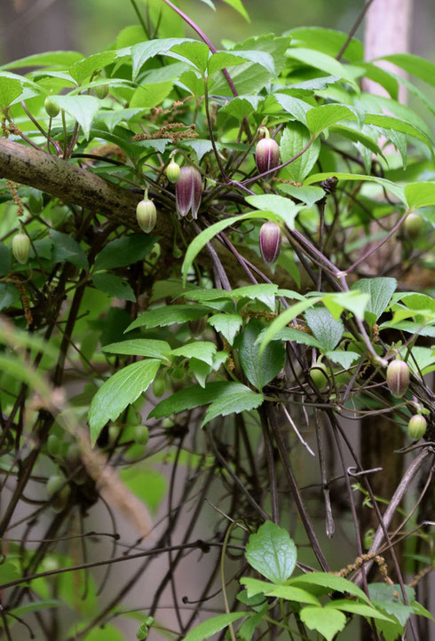 ハンショウヅル (半鐘蔓) キンポウゲ科 センニンソウ属