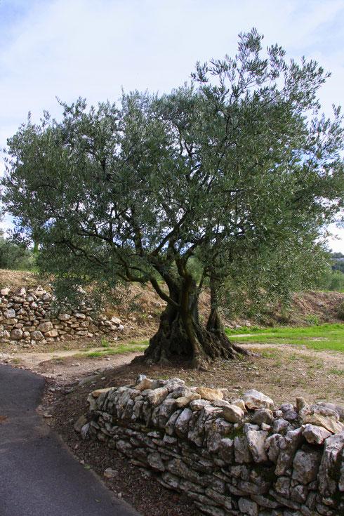 Bild: Olivenbaum in Lagnes