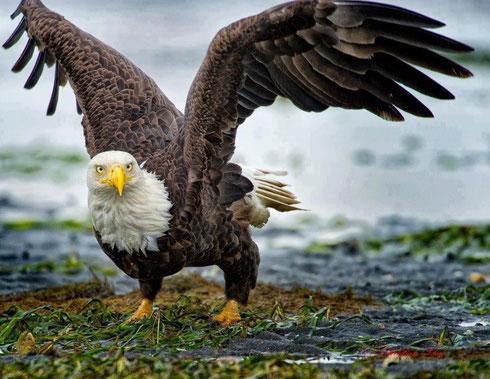 Foto de un águila postrada en la tierra de un campo con las alas abiertas