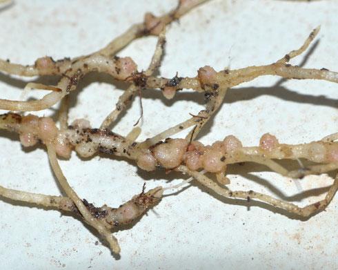 Nódulos de Rhizobium en raíces de Vicia sp.