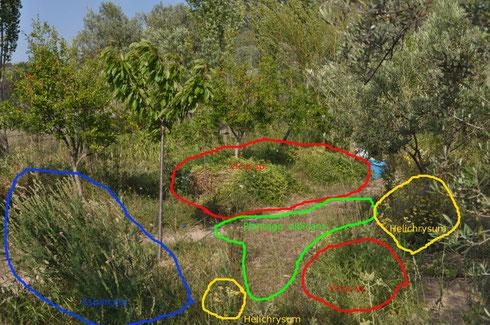 Composición  de las praderas, principales especies(Vicia, esparceta, helichrysum, Plantago albicans) en las inmediaciones del huerto, 31-V-2017