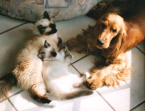 Birma-Katze Vicky mit Sohn Moritz und Cocker Spanien Theo
