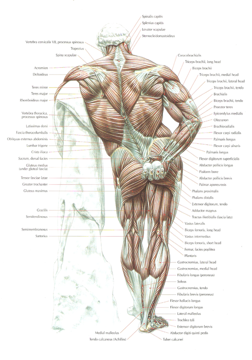 Strength training anatomy delavier 1030518 - follow4more.info