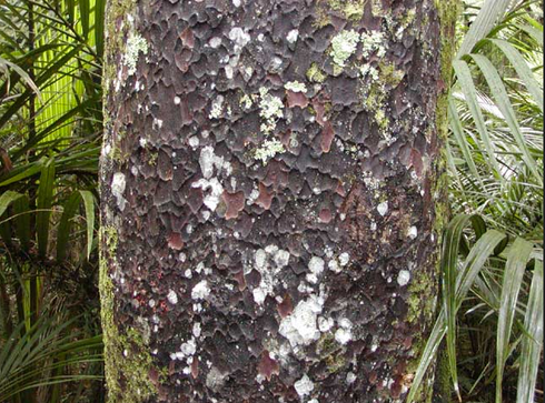 Matai bark: Grey-brown and punctate, it flakes off in thick rounded or ovoid chunks which leave reddish blotches on the trunk. The bark is commonly described as having a 'hammered' appearance (The Gym