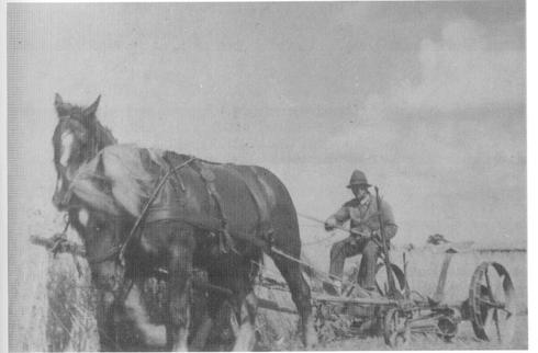 Bauer Nagel beim Mähen des Getreides um 1950
