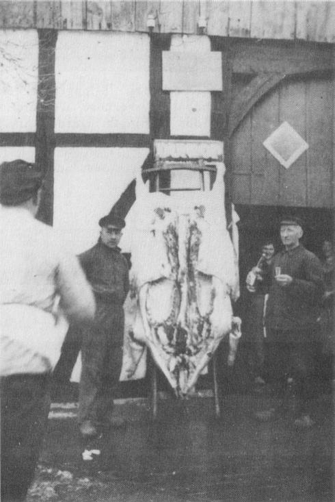 Schlachtfest 1936 Schlachter: L. Brinkmann Das hier abgebildete Schwein der Familie Rekort wog ausgeschlachtet 453 Pfund und hatte eine 14 cm dicke Speckschicht