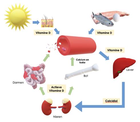Vitamine D metabolisme overzicht (omzetting van vitamine D uit zonlicht en vis, vlees en eieren naar calcidiol in de lever en actieve vitamine D in de nieren)