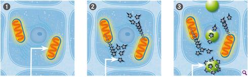 Processus de vie normal où les anti-oxydant dégradent les radicaux libres