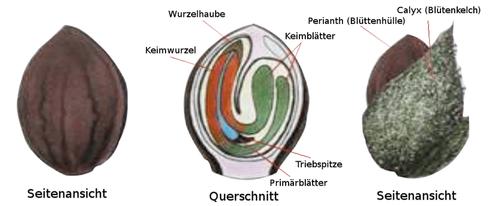 Hanfsamen Anatomie mit Querschnitt und Beschriftung