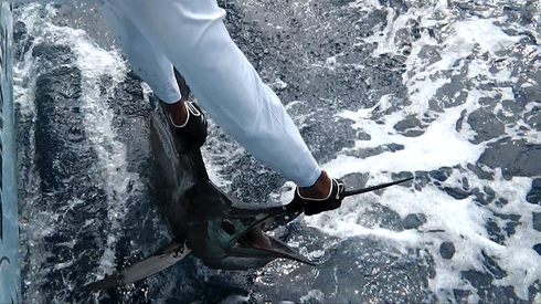 Seychellen angeln Segelfisch Release